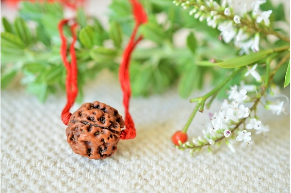 single Rudraksha seed